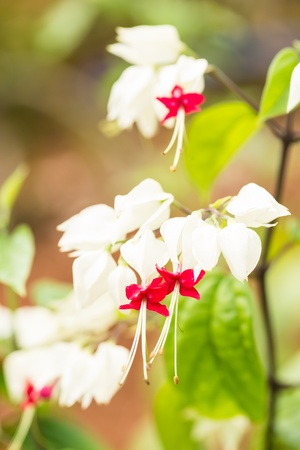 Bleeding Heart Vine flowers close-up on a sunny day  It is known as Glory Bower or Clerodendrum Thomsoniae  photo