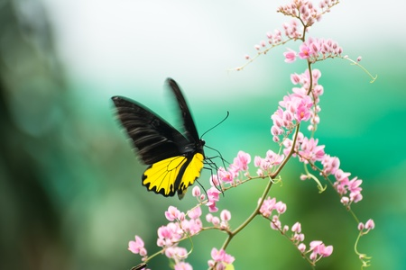 Common birdwing butterfly feeding on nectar from pink flower while fluttering its wings