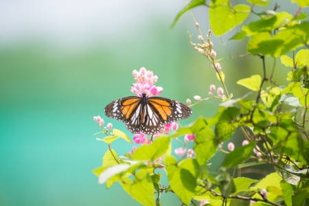 Black Veined Tiger Butterfly basking in the sun on a sunny day photo