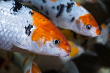 Koi fishes close up Stock Photo - 20277752