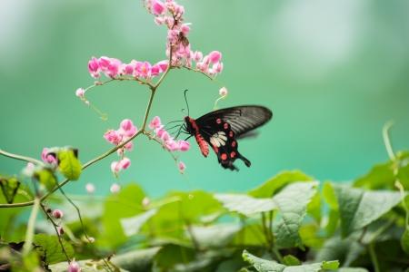 feeding through: The Common Rose butterfly or Pachliopta aristolochiae asteris feeding on Queen s wreath flowers through its proboscis