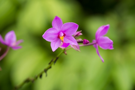 Spathoglottis Plicata or Ground purple orchid in the garden photo