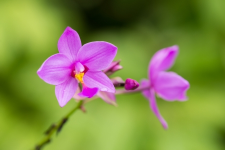 Spathoglottis Plicata purple orchid close-up in the garden  It is also known as Ground Orchid  photo
