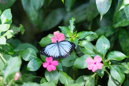 outspread: The Common Wanderer butterfly, Pareronia Valeria, with its outspread wings on pink flower