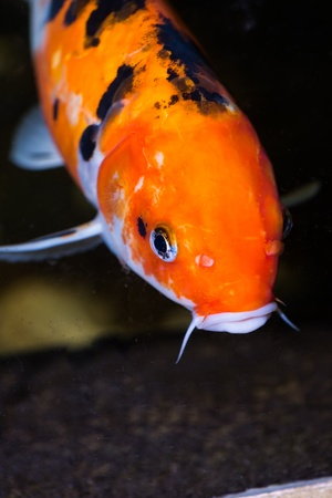 Koi fish extreme close up Stock Photo - 21778430