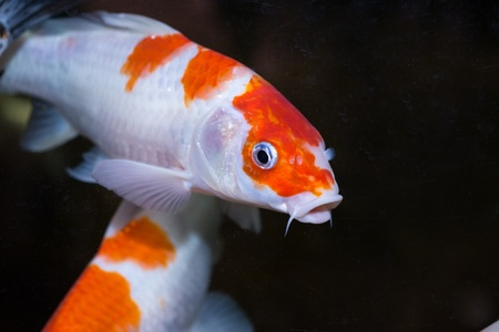 Koi fishes in an aquarium close up Stock Photo - 21778432