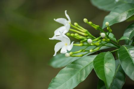 pinwheels: Crepe Jasmine flowers, Tabernaemontana divaricata, close up
