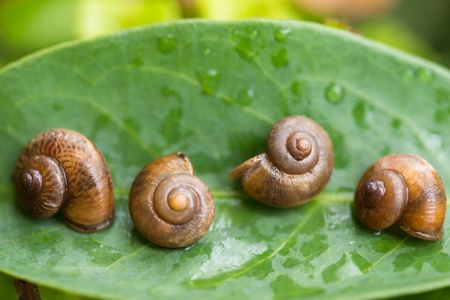 shutting: Garden snails play dead by shutting their aperture with the operculums