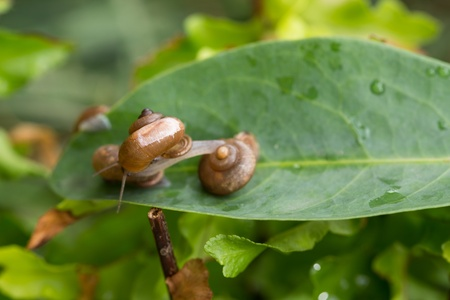 land slide: One snail stretches forward onto another garden snail   Stock Photo