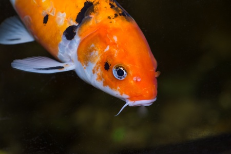 Koi carp fish close up Stock Photo - 21778537