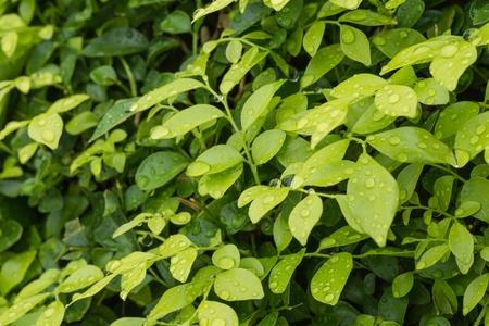 jessamine: Gocce di pioggia sul verde Murraya Paniculata foglie sfondo E 'conosciuto anche come Orange Jessamine