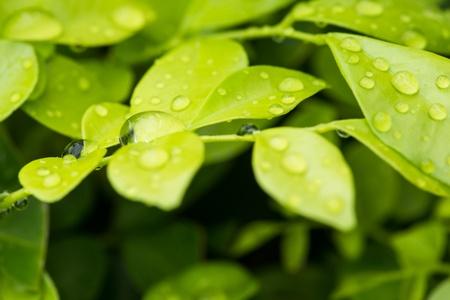 jessamine: Gocce di pioggia su Orange Jessamine lascia il primo piano