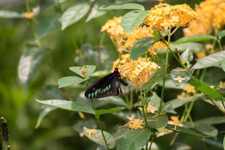 feeding through: Rajah Brooke butterfly or Trogonoptera Brookiana  feeding on Ixora flowers through its proboscis