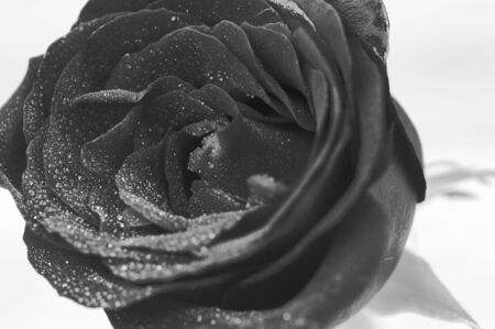 glistening: Black and White red rose with glistening water drops close up Stock Photo