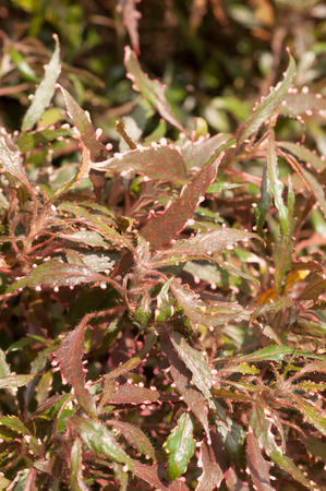 lance shaped: Acalypha plant with reddish green leaves background