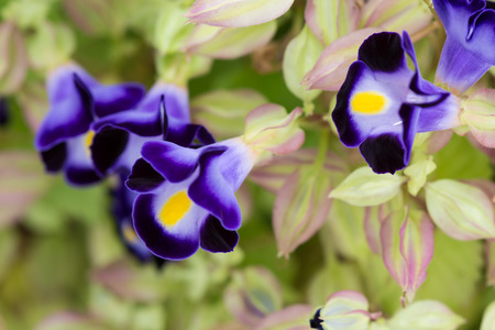 Wishbone flowers or Torenia fournieri close up  photo
