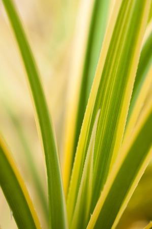 Variegated Pandanus Pygmaeus thorny leaves close-up