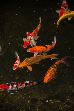 Koi fish in a pond top view