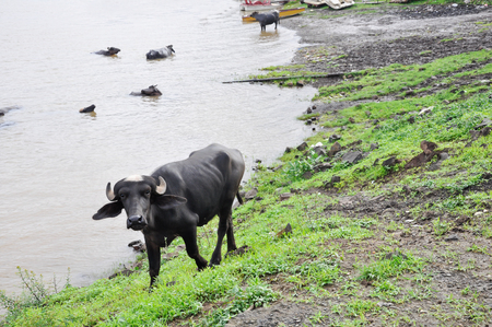 Young water buffalo with a white tuft of hair on the head in India photo