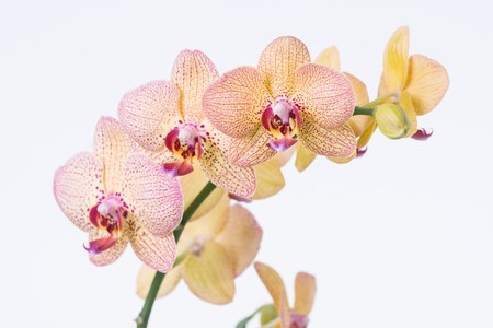 Yellow Phalaenopsis Orchids and bud photo