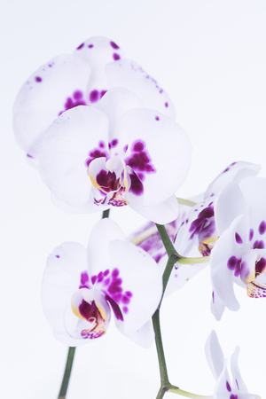 splotches: White Phalaenopsis orchids with purple splotches pattern close up