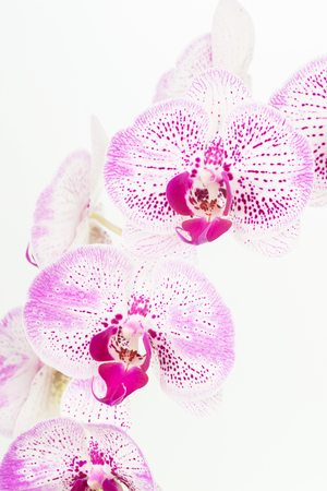 green orchid: Purple and white Moth orchids close up over white background Stock Photo