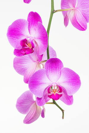 orchid branch: Purple Moth orchids close up over white background Stock Photo