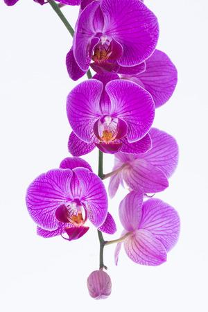 flores exoticas: orqu�deas Phalaenopsis blanco y p�rpura y brote Foto de archivo