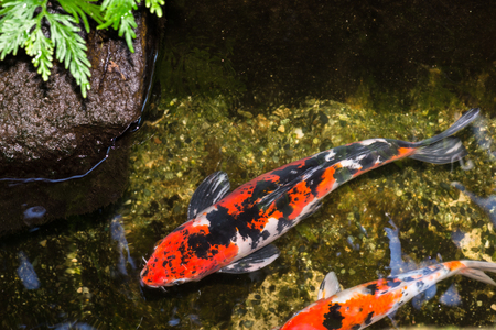red  fish: Koi fish in a pond swimming gracefully