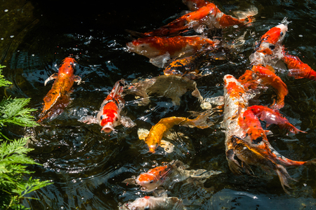 Koi fish in a pond going for their feeds Stock Photo