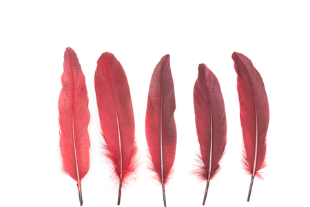 Burgundy red feathers on a white background Stock Photo