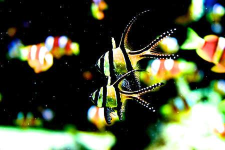pterophyllum: Scalar fish  Pterophyllum  lives in Orinoco and Amazon rivers  Stock Photo
