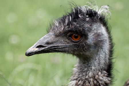 Ostrich gaze on blurred green  Bird Stock Photo - 22566677