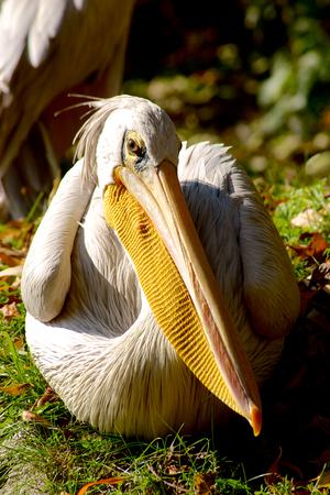 Pelican Pelecanus gaze on blurred green Bird photo