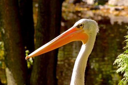 gaze: Pelikaan Pelecanus blik op vage groene Vogel