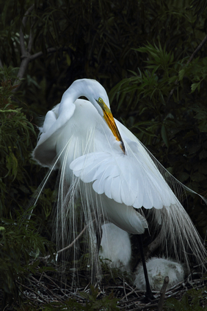 reducing: Egret preening, with young in nest. The long feathers are breeding plumage that was once prized for fashion, vastly reducing the populations of these wading birds.