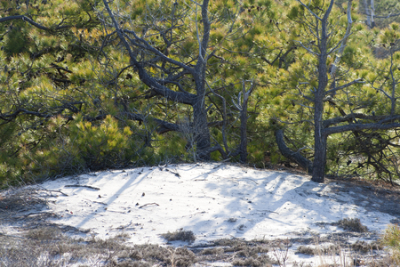 Vegetation of the sand dunes at Assateague State Park, Berlin, Maryland. Scrub pine (Pinus virginiana) and sand heather (Hudsonia tomentosa) dominate this arid habitat that is frequently disturbed by storms, wind and fire. Imagens