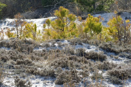 barrier island: Vegetation of the sand dunes at Assateague State Park, Berlin, Maryland. Scrub pine (Pinus virginiana) and sand heather (Hudsonia tomentosa) dominate this arid habitat that is frequently disturbed by storms, wind and fire. Stock Photo