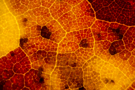 acer: Micrograph of a red maple leaf in autumn, with red, orange and yellow colors dominating. Fall leaf under the microscope, taken at 40x. Scientific name is Acer rubrum. Stock Photo