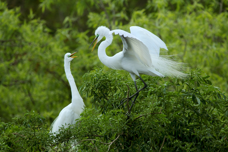 and egrets: A pair of great white egrets greet each other, with bills open, in a shrub at a spring rookery in central Florida. One shows prominent breeding plumage. Scientific name is Ardea alba.