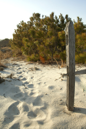 barrier island: Split rail fence and scrub pines in the sand dunes at Assateague State Park, Berlin, Maryland. Assateague is a barrier island on the Atlantic coast of the US.