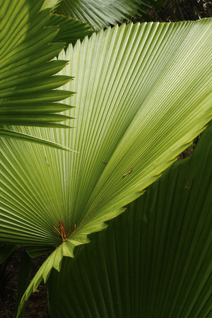 Abstract of palm leaves in south Florida. Green leaves with serrated edges overlap in this angled composition.