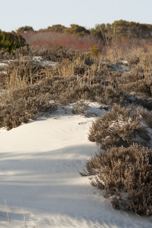 Vegetation in the sand dunes at Assateague State Park, Berlin, Maryland. Scrub pine (Pinus virginiana) and sand heather (Hudsonia tomentosa) dominate this arid habitat that is frequently disturbed by storms, wind and fire. Imagens
