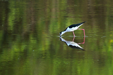 Black-necked stilt, Himantopus mexicanus, at Mrazek Pond in the everglades of Florida. With its bill in the water, the bird is likely searching for crustaceans to eat.