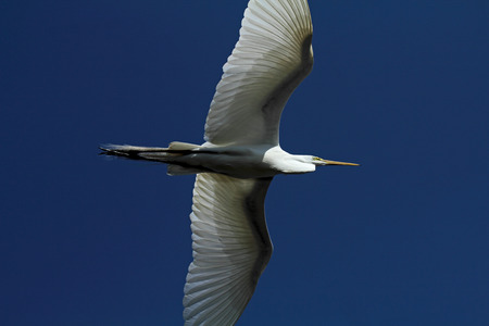 outspread: Great white egret flying with wings outspread in a deep blue sky in Florida. Scientific name is Ardea alba. Stock Photo