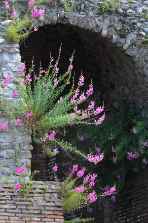 hadrian: Purple snapdragon flowers growing on stone walls of the Roman Theater in Benevento Italy. This amphitheater was constructed by the emperor Hadrian in the second century AD.