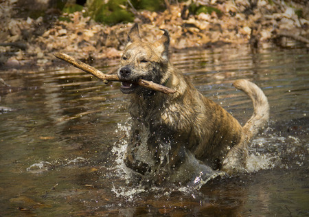 vernal: Catahoula leopard dog retrieving a stick from a vernal pond splashing as it runs toward the camera.
