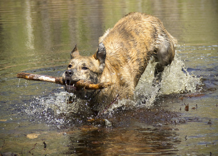 retrieving: Catahoula leopard dog retrieving a stick from a vernal pond jumping and splashing as it runs toward the camera.