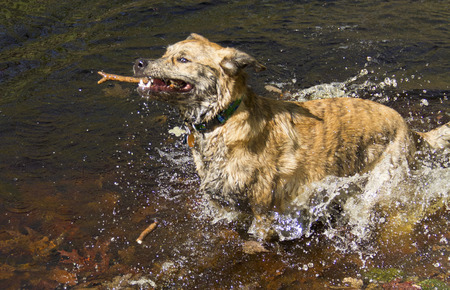 vernal: Catahoula leopard dog retrieving a stick from a vernal pond splashing as it runs in front of the camera.