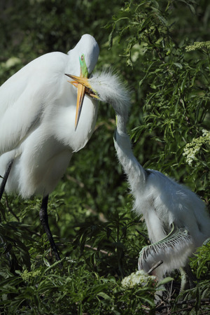 animal behavior: Baby egret in Florida demanding attention by grabbing the beak of its mother in its bill coaxing her to regurgitate a meal. Ardea alba.